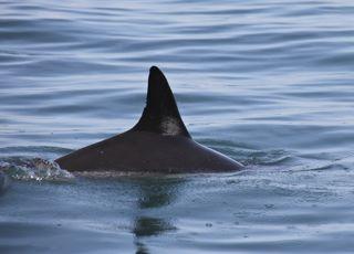 pinna delfino 17 07 2012