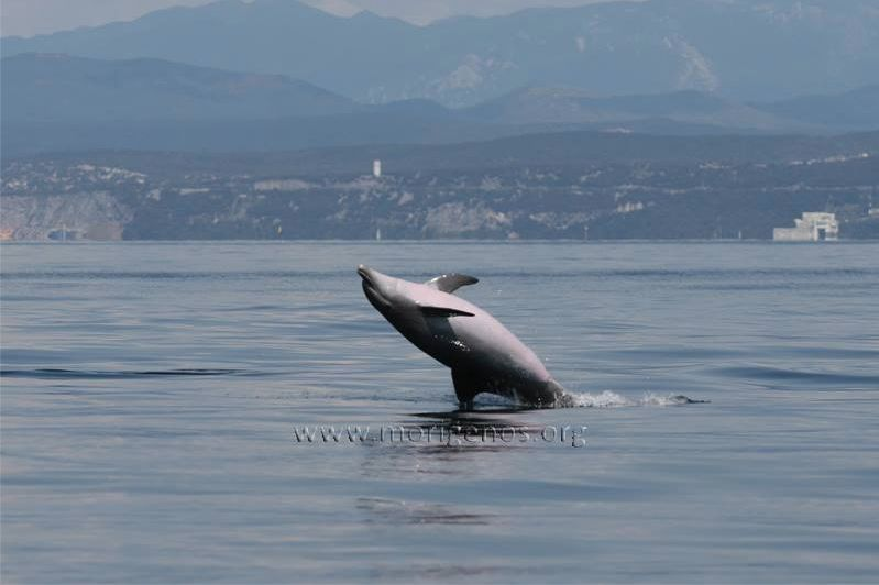 delfino morigenos