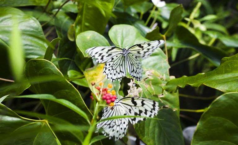 farfalle   Versione 2