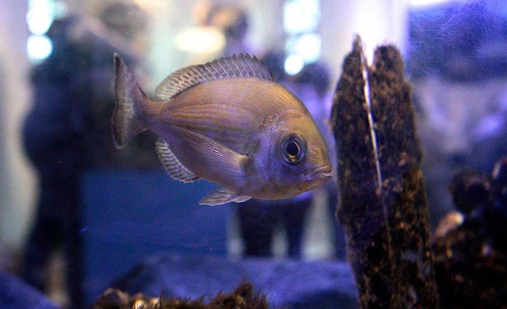 Trieste riserva marina di Miramare pesce ph Massimo Goina Versione 2