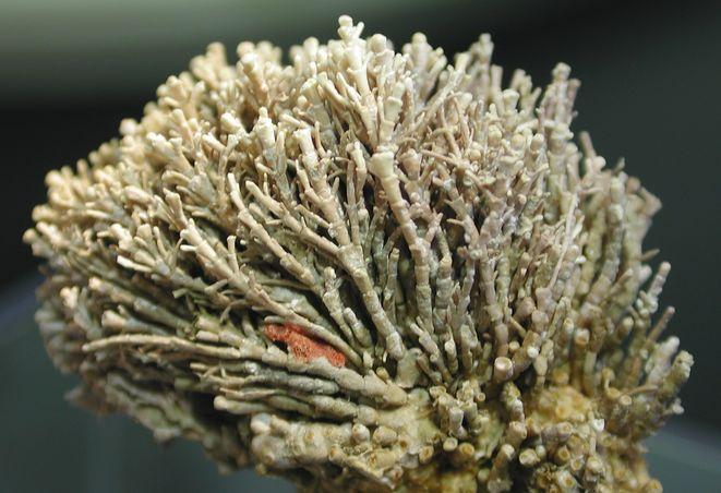 corallina officinalis units