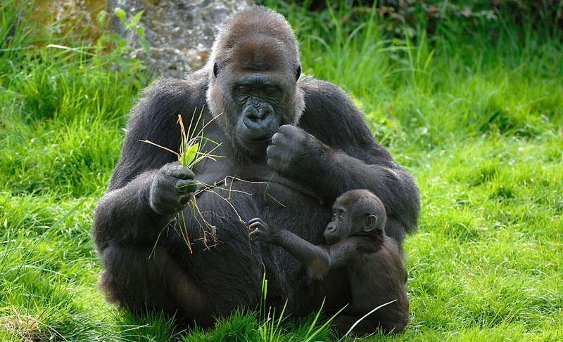 gorilla fotoWWF
