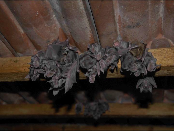 pipistrelli foto rudolf leitl
