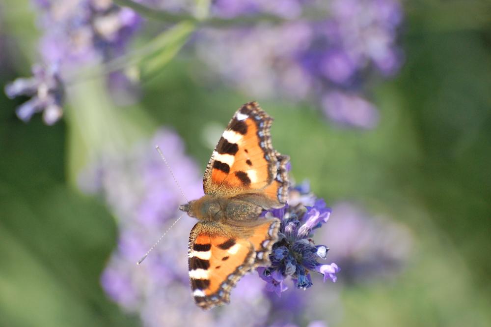 farfalla fiore web