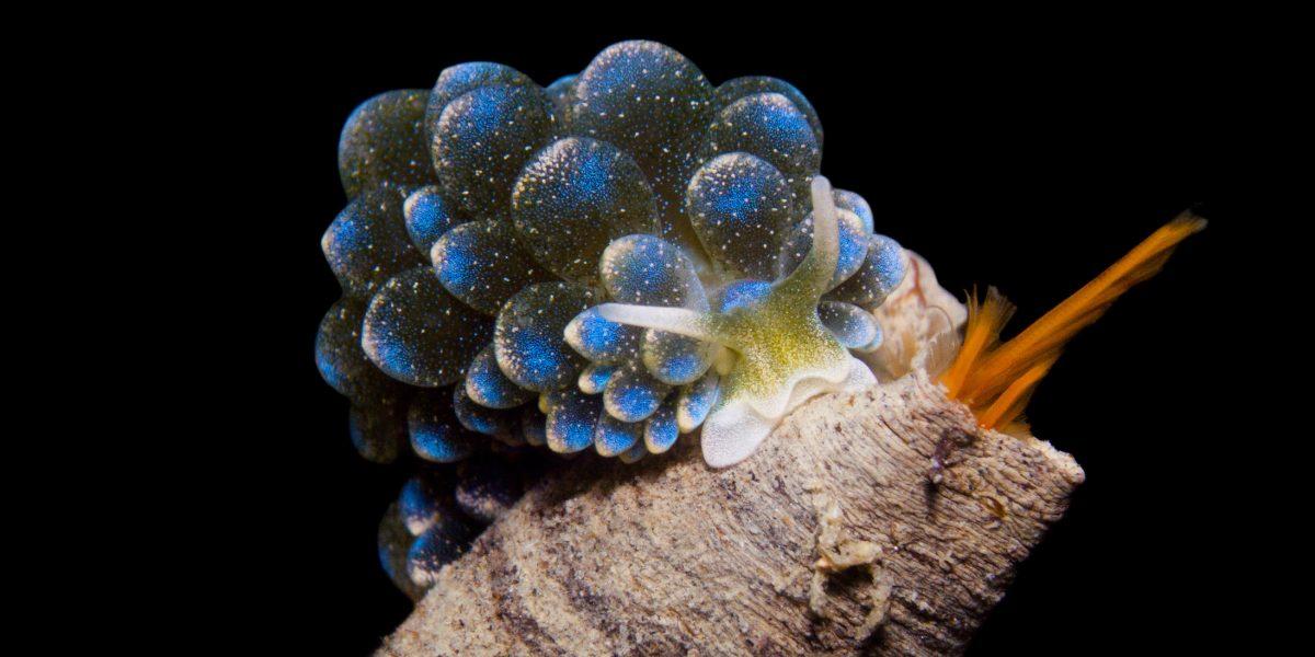 Ercolania caerulea