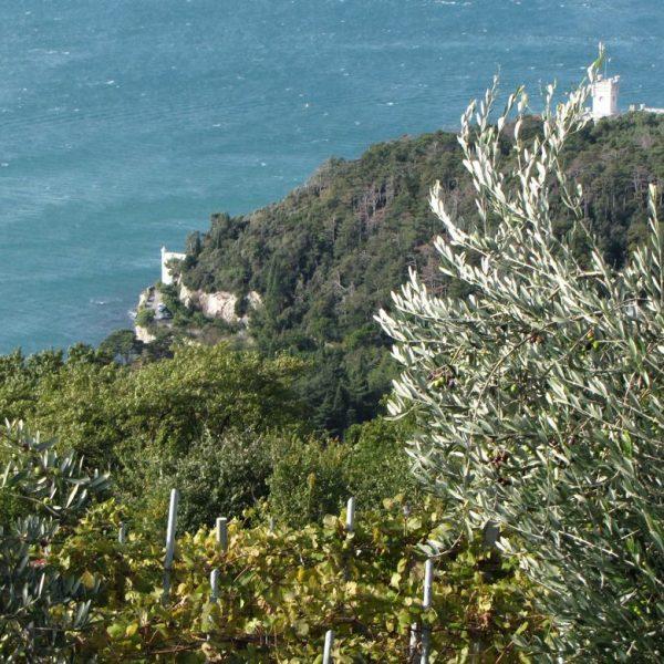 olivi promontorio Miramare P Utmar Versione 2